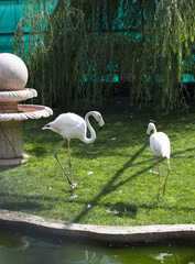 Two beautiful flamingos in the bird park taigan