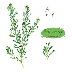 Hand-drawn watercolor illustration of the rosemary. Botanical drawing isolated on the white background.