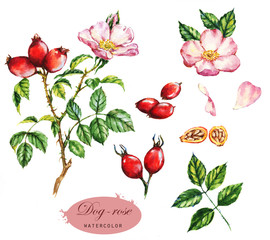 Hand-drawn watercolor illustration of the dog-rose. Botanical drawing isolated on the white background.