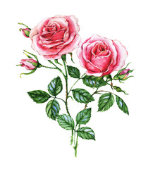 Watercolor botanical illustration of pink roses. Hand painting. Floral drawing for the greeting cards, invitations, personalized card and different decorations.