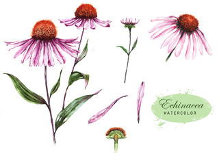 Hand-drawn watercolor illustration of the echinacea plant. Botanical drawing isolated on the white background: echinacea flower, petals, bud.