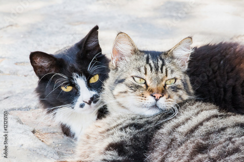 portrait of big fluffy homeless cats laying outdoor and hugging each other attractive eyes. Black Bedroom Furniture Sets. Home Design Ideas