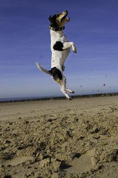 Jack Russell der springende Hund