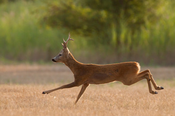 Running roe deer buck