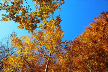 Golden treetops, with beautiful bright blue sky.