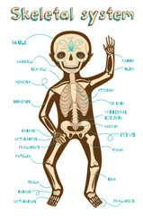 vector cartoon illustration of human skeletal system for kids