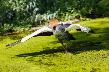 Crowned crane in a water