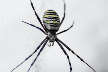 big yellow spider with black stripes. macro