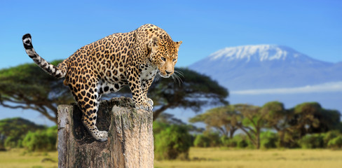Poster Leopard Leopard sitting on a tree