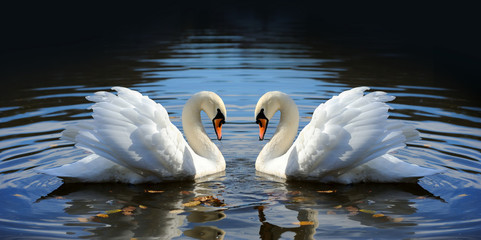 Papiers peints Cygne Swan in the lake