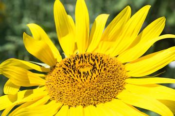 Sunflower close up on sunflower field.