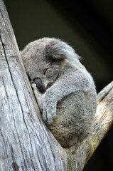 Cute Australian Koala (Phascolarctos cinereus) sleeping in a gum tree. Australia's iconic marsupial mammal.