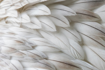 White fluffy feather closeup