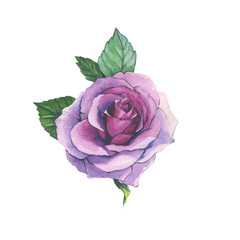 Wildflower rose flower tattoo in a watercolor style isolated. Full name of the herb: rose, platyrhodon, rosa. Aquarelle flower could be used for background, texture, pattern, frame or border.