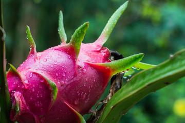 Raindrops on dragon fruit in garden