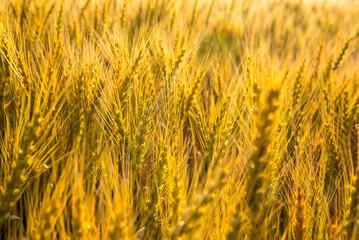 黄金色の畑
