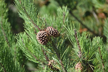 Pine cones in tree