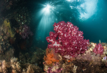 Fototapete - Soft coral and reef scene, Raja Ampat, Indonesia