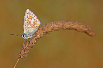 Little Butterfly (Polyommatus coridon) on a Grass with dewy wings.