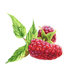 Watercolor raspberry decoration. Red berries. Realistic illustration. Isolated on white background. Colorful floral set with raspberry and leaves. Beautiful raspberry bouquet for your own design.