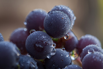Bunch of Grapes with water droplets