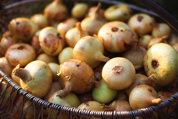 Pile of raw onion in basket