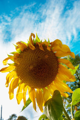 wilting sunflower photographed against autumn sky