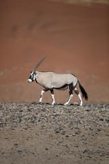 Fond de hotte en verre imprimé Bestsellers Gemsbok, Oryx gazella