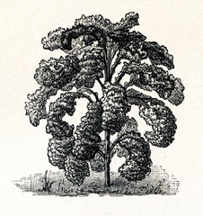 Curly kale (from Meyers Lexikon, 1895, 7/288/289)
