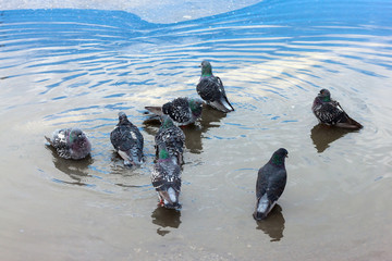Urban pigeons bathe in the puddle.