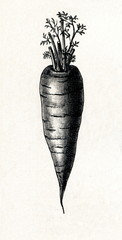 Frankfurt carrot (from Meyers Lexikon, 1895, 7/288/289)