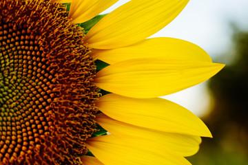 Half Sunflower, Close-up shot sunflower high saturation color.