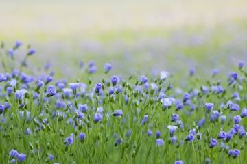 Garden Poster Spring Flax flowers