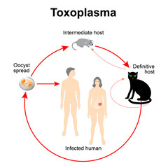 Lifecycle of Toxoplasma gondii