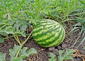 Harvesting watermelons  in summer