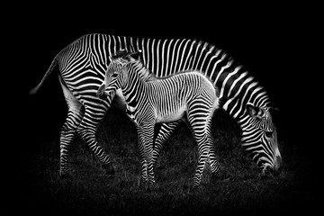 Baby Zebra and Mother Wall mural