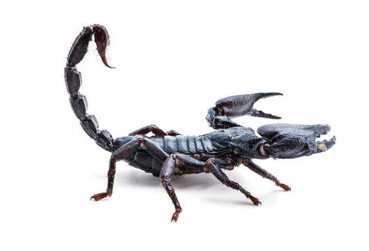 Giant forest scorpion species found in tropical and subtropical areas in Asia.