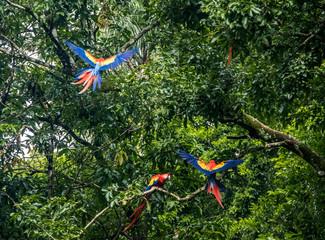 Scarlet Macaws Flying - Copan, Honduras