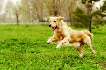 Beautiful happy dog Golden Retriever running around and playing