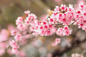 Wild Himalayan Cherry, flowers
