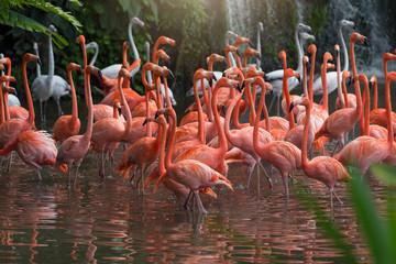 Flock of Pink flamingos standing in water
