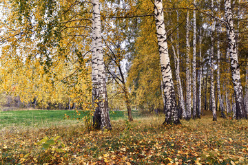 Fotobehang Birch grove with yellow leaves in cloudy autumn day