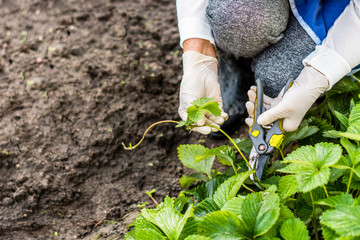 Woman cuts runners from the strawberry plant and prepares  for planting, agriculture and plant propagating concept