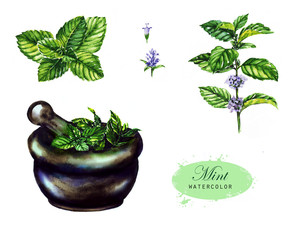 Hand-drawn watercolor illustration of the mint. Botanical drawing isolated on the white background: mint, leaves, pounder, blossom and branch.