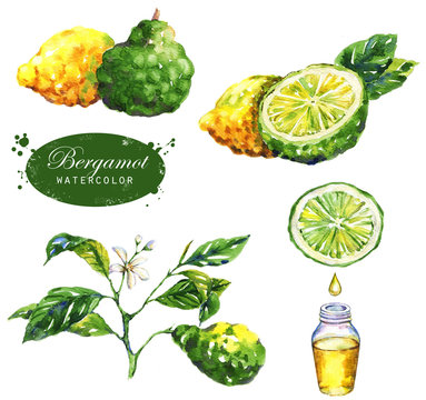 Hand-drawn watercolor illustration of the bergamot plant. Botanical drawing isolated on the white background: bergamot fruits, branch, slice, bergamot oil, leaves and blossom.
