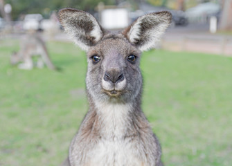 Young curious kangaroo with green background
