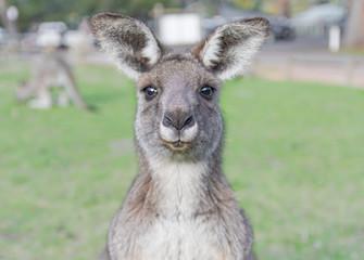 Poster de jardin Kangaroo Young curious kangaroo with green background
