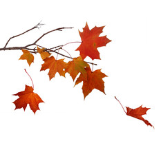 Falling of autumn maple leaves isolated on white background