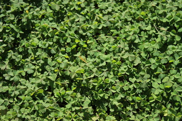 A garden full of thick clover growth