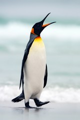 King penguin going from blue water, Atlantic ocean in Falkland Island. Sea bird in the nature habitat. Penguin in the water. Penguin in the sea waves. Penguin with black and yellow head, open bill.
